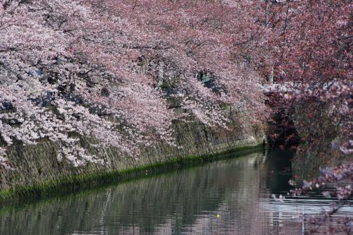 2009sakura10_convert_20090403213646.jpg