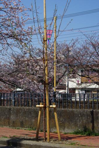 2009sakura13_convert_20090403190236.jpg