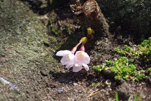 2009sakura16_convert_20090403184950.jpg