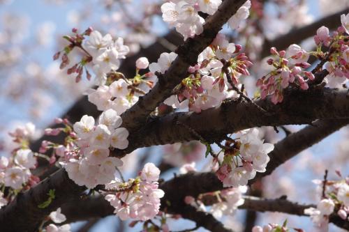 2009sakura17_convert_20090403193247.jpg