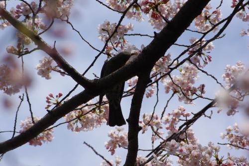 2009sakura24_convert_20090403185501.jpg