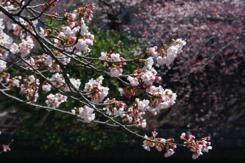 2009sakura7_convert_20090403184513.jpg