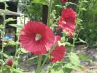赤い花090524