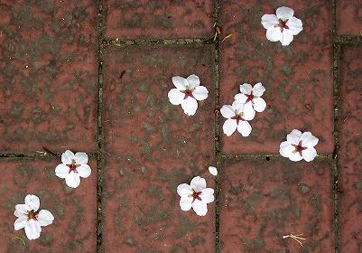 080330味スタ周辺桜1