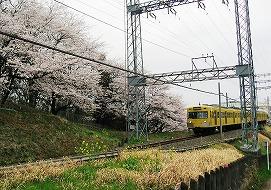 080330味スタ周辺桜2