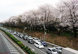 080330味スタ周辺桜3