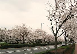 080330味スタ周辺桜4