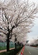 080330味スタ周辺桜5