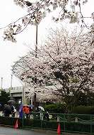 080330味スタ周辺桜6