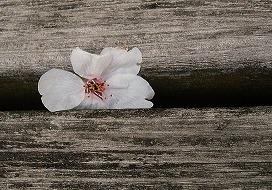 080330味スタ周辺桜7