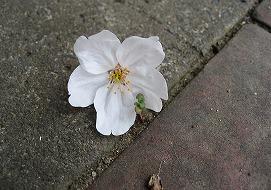 080330味スタ周辺桜8