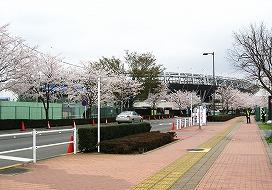 080330味スタ周辺桜9
