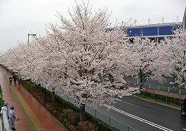 080330味スタ周辺桜12