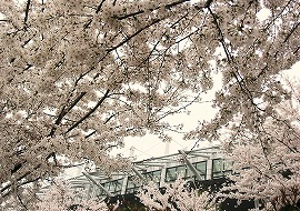 080330味スタ周辺桜13