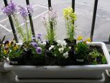 プランターの花_20080502