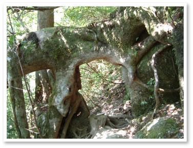 縄文杉への道のり
