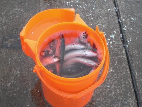 鰯(いわし) マイワシ サビキ釣り 釣果