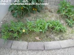 花壇 ジニア
