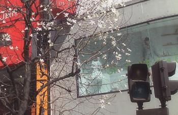 新宿通りの木蓮3