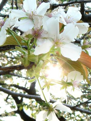 白い桜と太陽