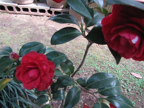 210412・庭の花04