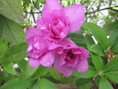 210417・庭の花3