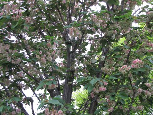 210421・桜1