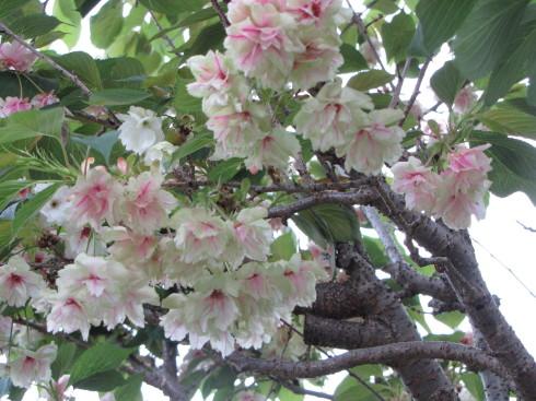 210421・桜3