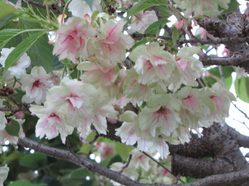 210421・桜4
