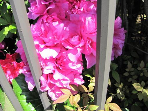 210428・庭の花05