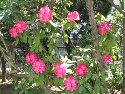 210430・庭の花01