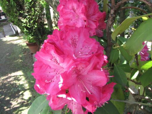 210430・庭の花04