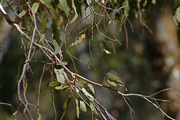 0514YellowRumpedThornbill.jpg