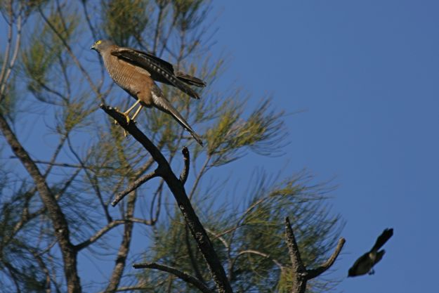 0529CollaredSparrowhawkWillie2.jpg