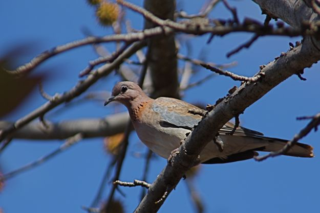 0605LaughingTurtleDove.jpg