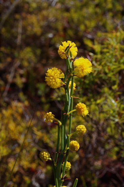 0606AcaciaTeretifolia.jpg