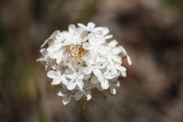 1026Ursinia種