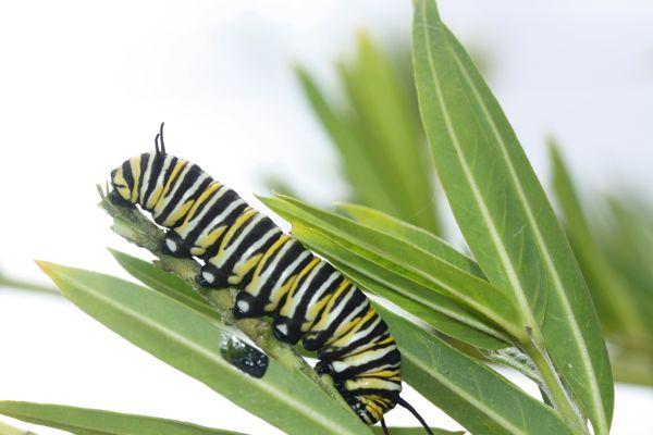 1107オオカバマダラ幼虫