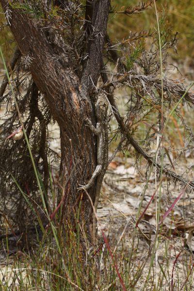 1109アゴヒゲ木