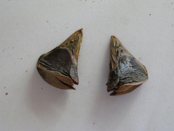 1127バンクシア種