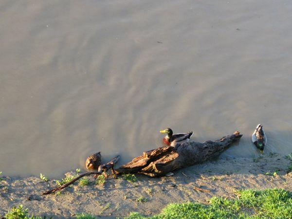 アルノ川真鴨