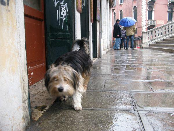 犬ヴェネチア毛多