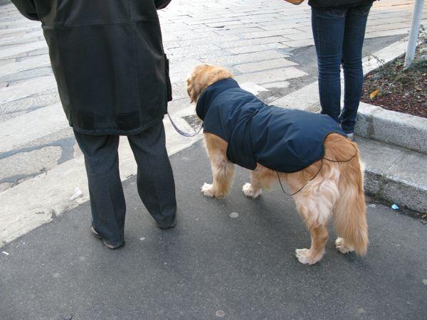 犬ミラノゴールディー