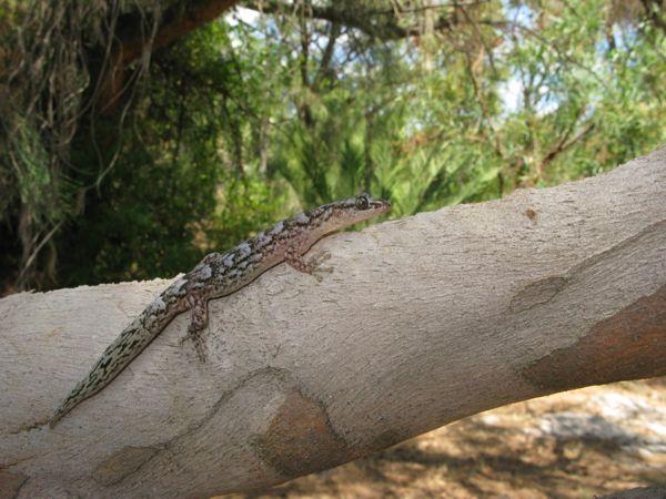 0217MarbledGecko木