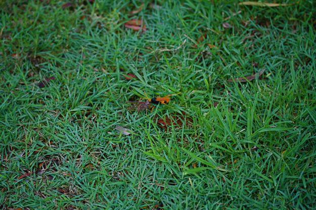 0506ベッコウバチ芝生