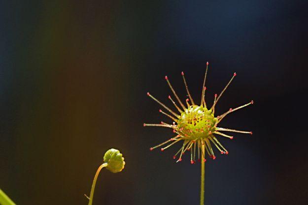 0514ドロセラ捕虫葉