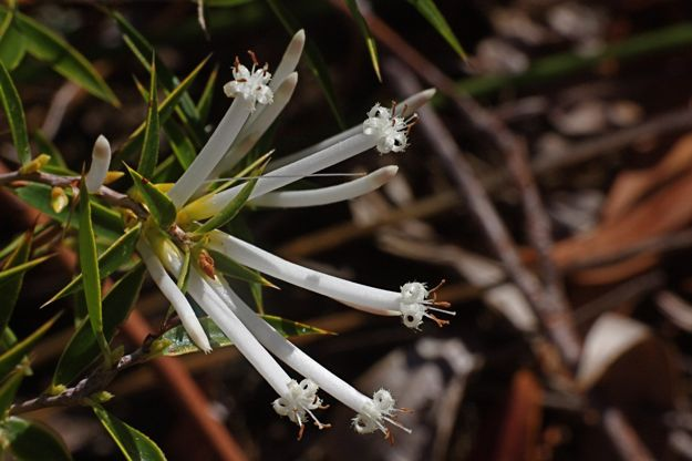 0606StypheliaTenuiflora花
