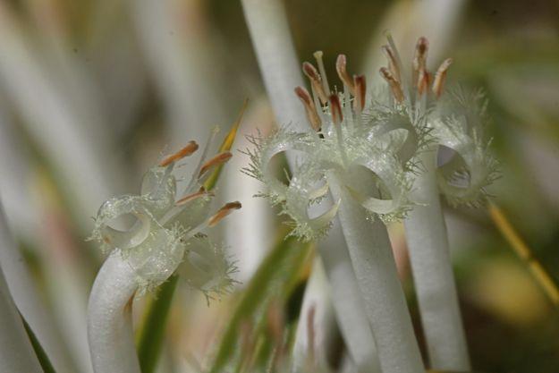 0606StypheliaTenuiflora花大