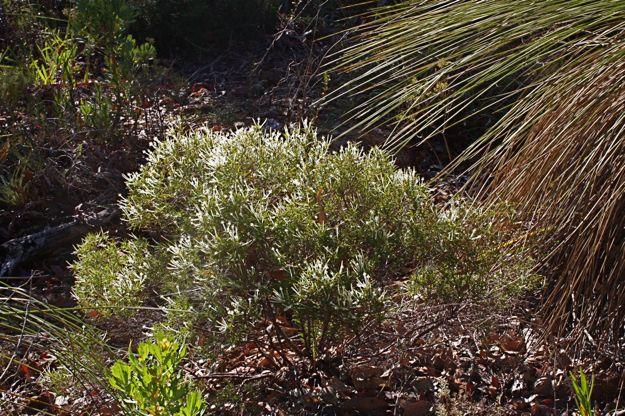0606StypheliaTenuiflora全体