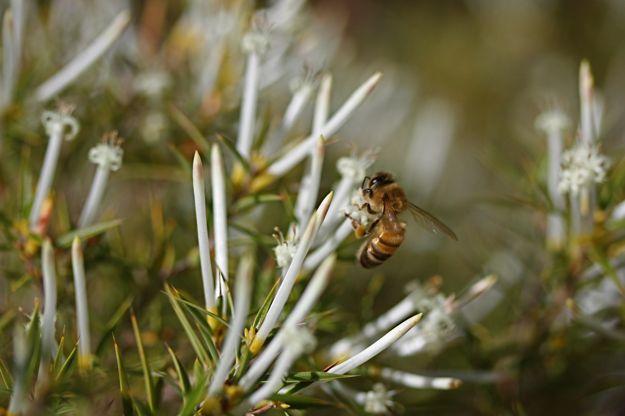 0606StypheliaTenuiflora蜜蜂